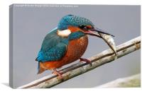 Kingfisher fishing, Canvas Print