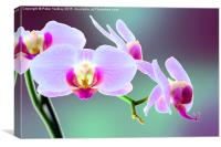 Moth Orchid #1, Canvas Print