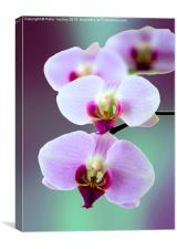 Moth Orchid #2 , Canvas Print