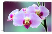 Moth Orchid #3, Canvas Print