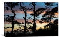 Scots pine silhouettes at sunset