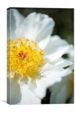 Soft, single White Peony, Canvas Print