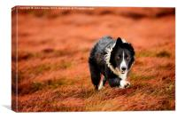 Border Collie At Work, Canvas Print