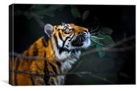 Tigers eye, Canvas Print