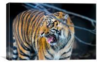tigers teeth, Canvas Print