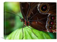 butterfly , Canvas Print