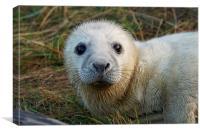 cute baby seal , Canvas Print
