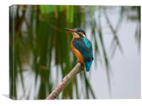 Kingfisher on perch, Canvas Print