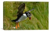 Puffin take off, Canvas Print