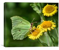 Butterfly looking like a Leaf , Canvas Print