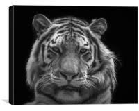 Tiger At Dartmoor Zoo, Canvas Print