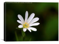 Greater Stitchwort Wild flower, Canvas Print