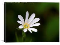 Greater Stitchwort Wild flower, Canvas Print