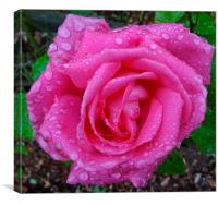 Pink Rose after the Rain , Canvas Print