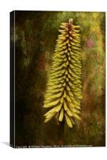 Kniphofia, Canvas Print