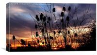 Teasel Sunset , Canvas Print