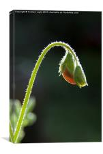 Backlit sweet pea in bud, Canvas Print
