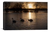 Swans on flooded meadow at sunset, Canvas Print