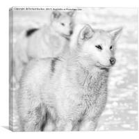 Greenlandic Dogs, Canvas Print