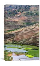 Rice Paddy Fields, Canvas Print