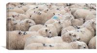 Welsh Mountain Sheep, Canvas Print