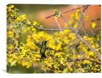 Emerald Humming Bird, Canvas Print