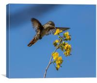 Ruby Topaz Humming bird, Canvas Print
