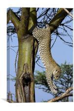 Leopard climbing down a tree, Canvas Print