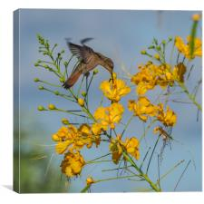 Humming bird     Curacao Views, Canvas Print