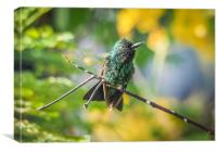 Emerald  Humming bird     Curacao Views, Canvas Print