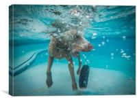 Weimaraner  in the pool, Canvas Print