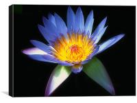 Blue Water Lily, Canvas Print