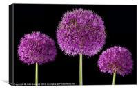 Allium Trio, Canvas Print
