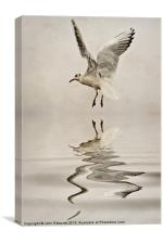 Black-headed gull, Canvas Print