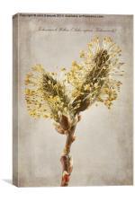 Salix caprea Kilmarnock, Canvas Print