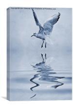Black-headed gull cyanotype, Canvas Print