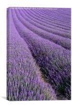 Lavender 1, Canvas Print
