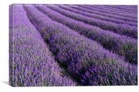 Lavender 2, Canvas Print