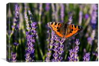 Butterfly on Lavender, Canvas Print
