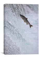 Salmon Leaping Brooks Falls, Alaska, Canvas Print