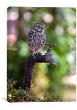 Little Owl (Athene noctua), Canvas Print