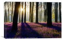 Bluebell Dawn - 7, Canvas Print