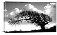 Windblown oak tree, Canvas Print
