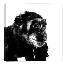 Chimpanzee, Canvas Print