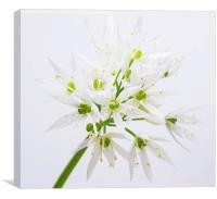 Wild onion flower , Canvas Print