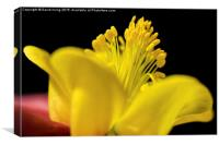 Close up of a yellow and purple aquilegia, Canvas Print