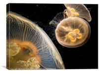 Jellyfish, Canvas Print