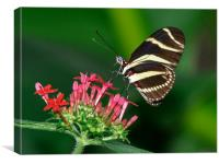 Zebra butterfly, Canvas Print