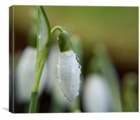 Spring Tears, Canvas Print