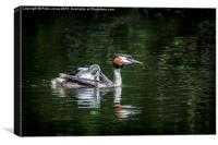 Great Crested Grebe & chick, Canvas Print